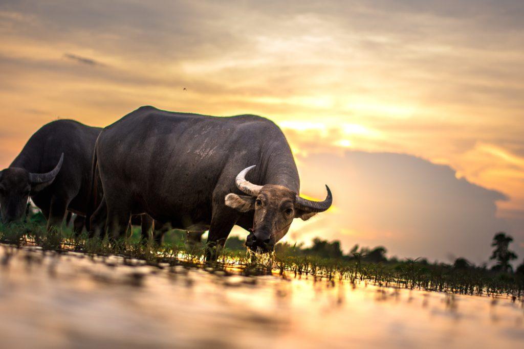buffel staat te drinken bij een waterplas met de ondergaande zon op de achtergrond