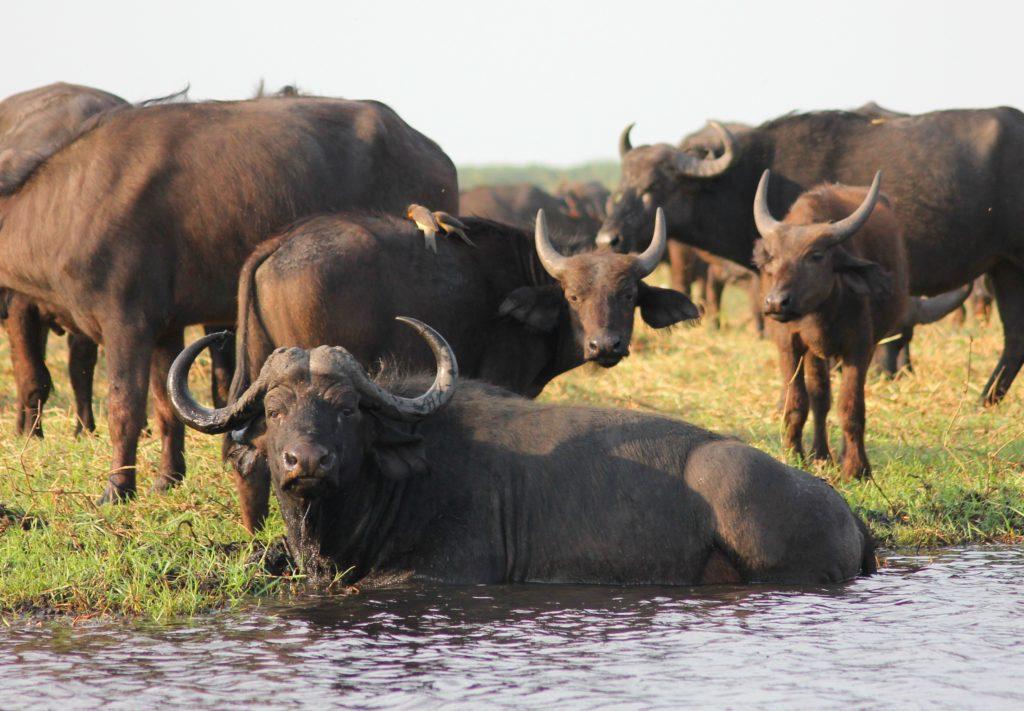 buffel ligt te chillen buiten bij een kudde aan het water (buffelmozzarella)